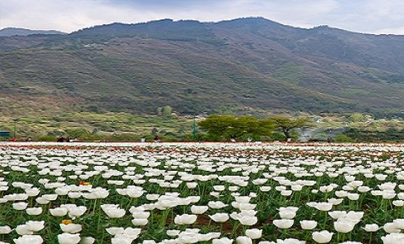 tulip-garden-srinagar-1