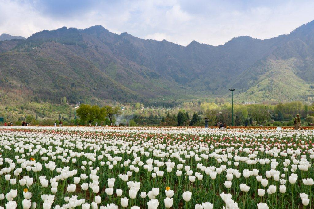 http://www.kashmirhills.com/wp-content/uploads/2015/08/shutterstock_152948825-Tulip-Garden2.jpg